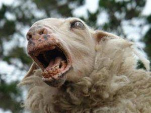 ovejas-asesinas