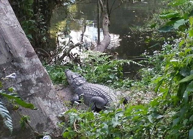 Don cocodrilo se marcha del lugar tras morder a la señora